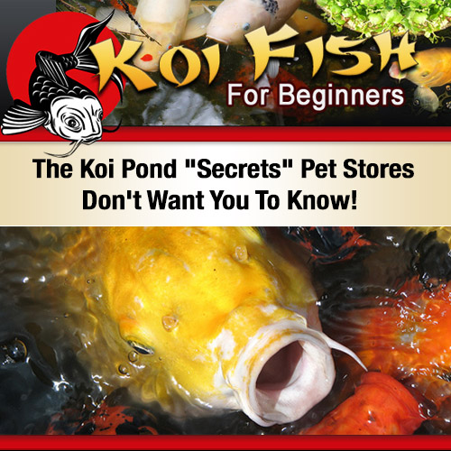 Buy Koi Fish For Beginners